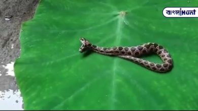 Photo of Two rare-headed Chandrabora snakes found in Maharashtra, viral video at the moment