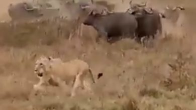Photo of The picture changed at the moment, the lion chased the buffalo while hunting and the tail rolled away! Violent viral video