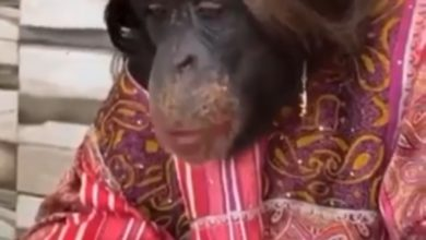 Photo of Beautiful gorilla dressing in red lipstick after new dress, jewelry, tumultuous viral video